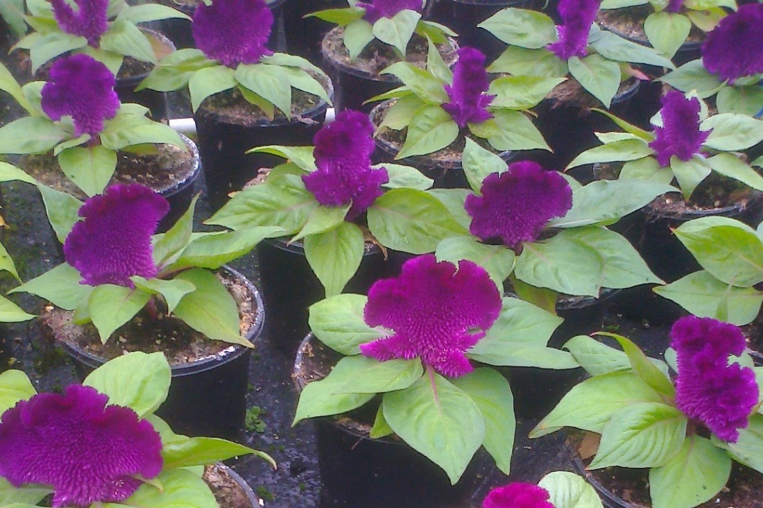 Concertina purple