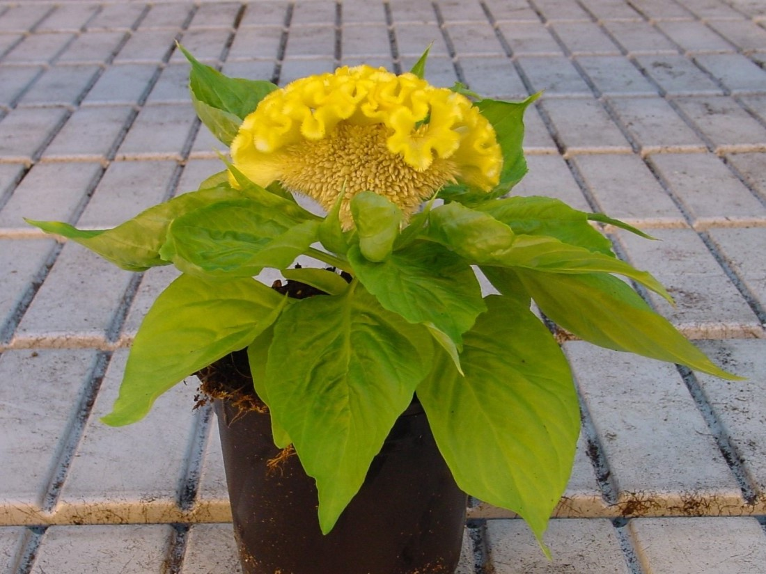 Concertina yellow plant