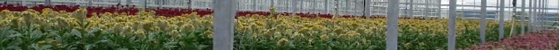 Celosia greenhouse photo strip