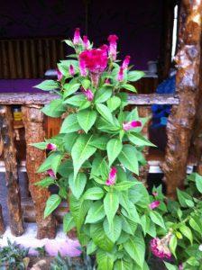 Celosia Costa Rica