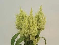 Celosia green